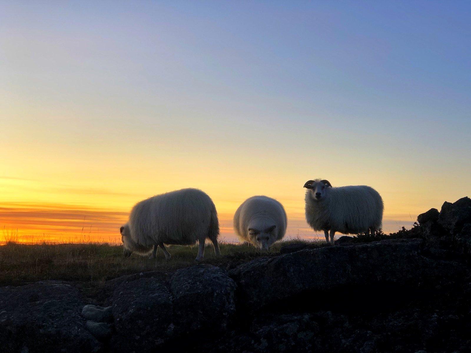 Πρόβατα Ισλανδία